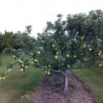 Apples ripening on the tree