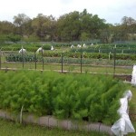Fennel bed in winter - the white covers can be rolled out for protection against frost
