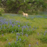 Millie in bluebonnets