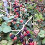 Nothing beats our blackberries!