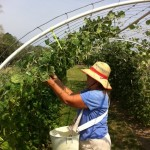 Donna picking green beans - first of two harvests per day!