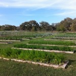 Easterly view of raised vegetable beds