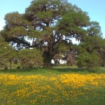 One of our beautiful live oaks during wild flower season