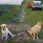 Sam & Millie overseeing harvesting