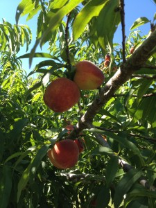 Spring peaches reading for picking