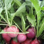 Just picked radishes