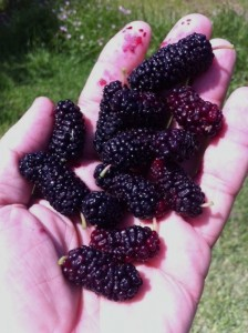 mulberries in hand